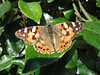 A painted lady butterfly, Vanessa cardui, by the side of the road opposite Saints Bay Hotel on 20th June 2007
