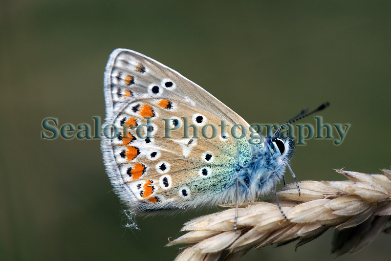 Common blue butterfly Polyommatus icarus in a St Peter Port garden