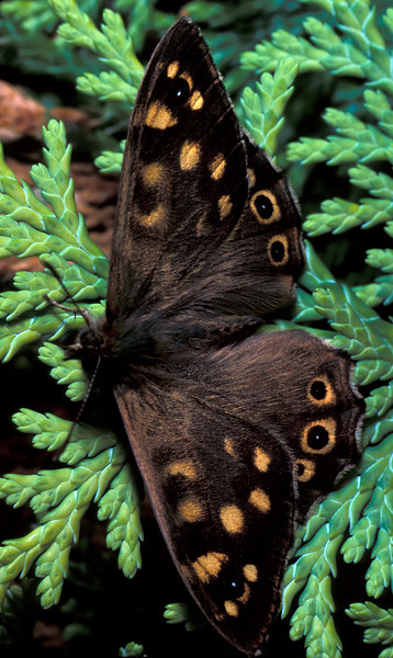 Speckled wood butterfly, Parage aegeria, in a St Peter Port garden