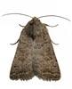 four spot moth clord garden trap 080908 9422 RLLord em