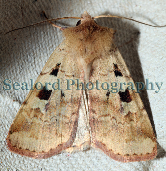 Ingrailed Clay Diarsia mendica ©RLLord 170609 5396 smg