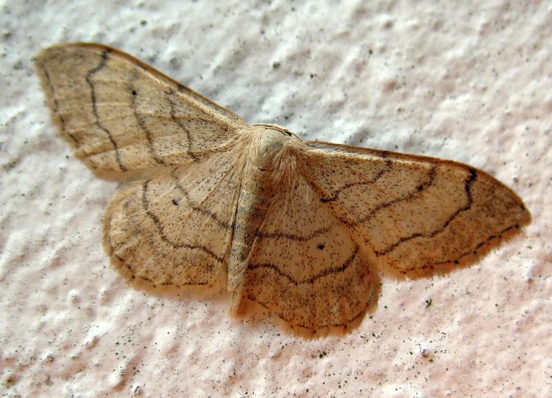 Riband wave moth, Idaea aversata, in Guernsey