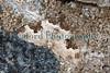 Garden Carpet Xanthorhoe fluctuata 060709