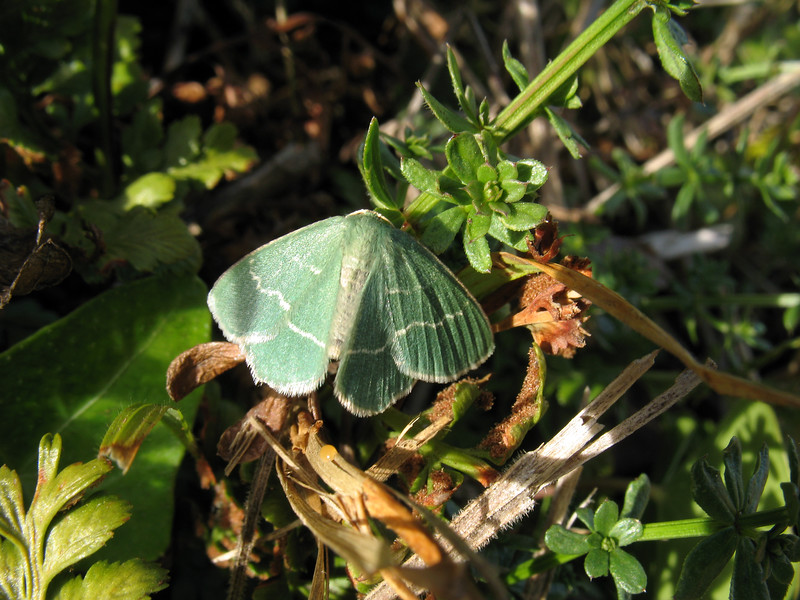 An Emerald moth by the cliff path at Le Gouffre, Guernsey