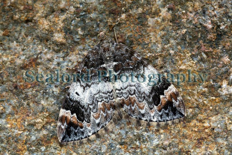 common marbled carpet Chloroclysta truncata 270609