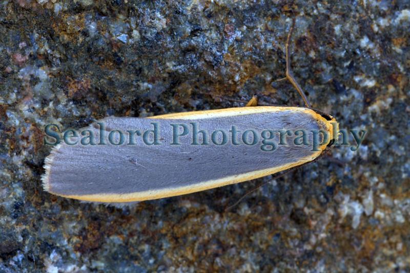 Common footman moth