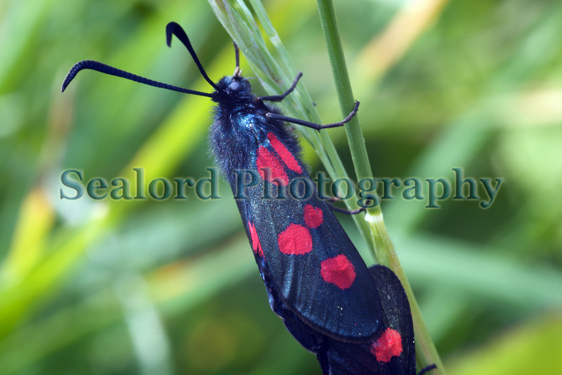 five-spot burnet Zygaena sp. Lihou Island, Bailiwick of Guernsey, Channel Islands photographed at 1544 on 23 May 2009 ©RLLord 4316