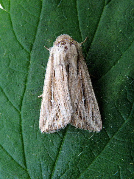 Shoulder-striped Wainscot Mythimna comma RLLord 280908 1559 smg