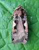 A  setaceous hebrew character moth, Xestia c-nigrum, attracted to a moth trap in my garden in St Peter Port, Guernsey on 21 September 2008.<br /> <br /> File No. 210908 866<br /> <br /> ©RLLord All Rights Reserved<br /> <br /> fishinfo@guernsey.net