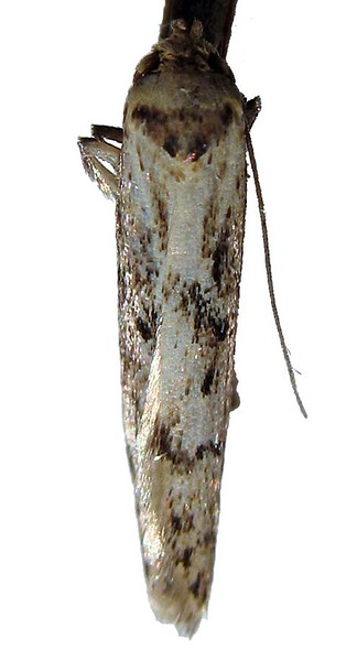 small moth clord garden trap 080908 9548 RLLord em