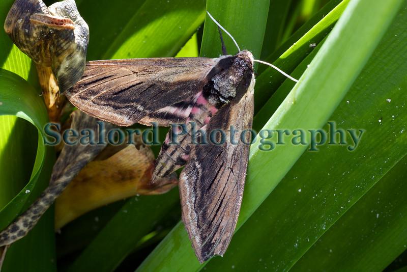 A Privet hawk moth in a  garden in St Peter Port, Guernsey