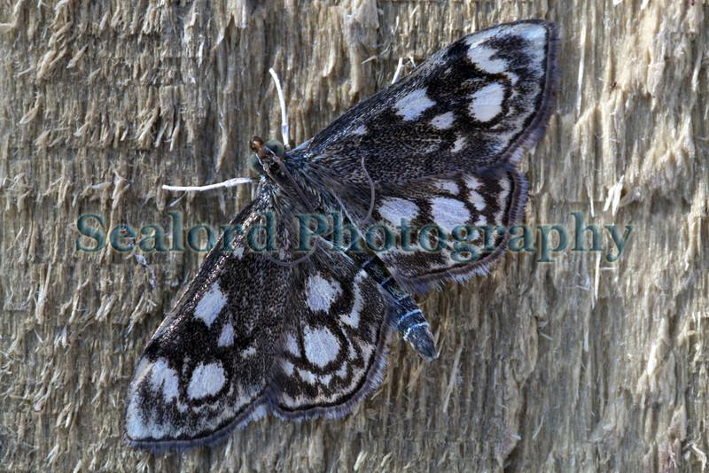 moth, Phlyctaenia coronata