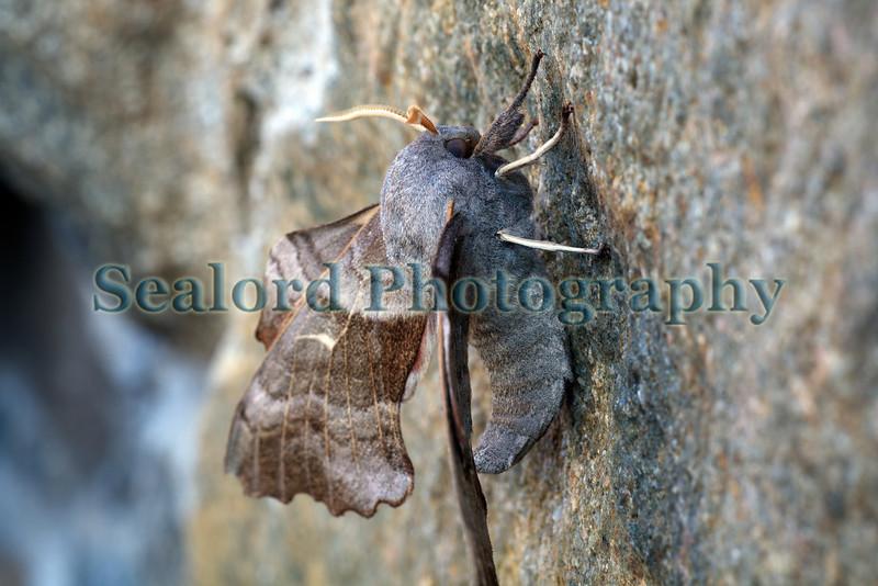 poplar hawkmoth Laothoe populi lateral view 040709