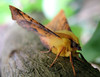 canary-shouldered thorn lean to trap 140908 0373 smg