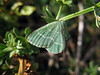 "Ian Kimber provides the superb UK moth site.   <a href=""http://ukmoths.org.uk/index.php"">http://ukmoths.org.uk/index.php</a><br /> <br /> I emailed Ian for advice on the identity of this emerald moth and he thinks it could be a small grass emerald moth, Chlorissa viridata.  He writes that emerald moths can be difficult to identify from photographs.  To view the small emerald moth image on Ian's website visit   <a href=""http://ukmoths.org.uk/show.php?id=4462"">http://ukmoths.org.uk/show.php?id=4462</a>    <br /> Click 'next species' to view images of other British emerald moths.<br /> <br /> This individual was found by the cliff path at Le Gouffre on Guernsey's south coast on the 29 July 2008.   <br /> <br /> File No. 290708 6071<br /> ©RLLord<br /> fishinfo@guernsey.net"