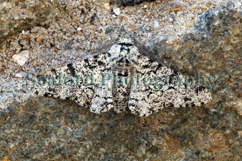 peppered moth Biston betularia ©RLLord 240609