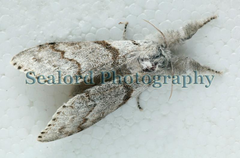 pale tussock Calliteara pudibunda ©RLLord 220609