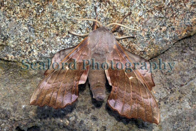 poplar hawkmoth Laothoe populi