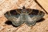 twin spot carpet Xanthoroe ©RLLord 140609 5133 smg