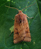 Guernsey moth expert Richmond Austin identified this lunar underwing, Omphaloscelis lunosa, which entered a moth trap set in my garden in St. Peter Port, Guernsey on the night of 22 September 2008.<br /> File No. 220908 963<br /> RLLord<br /> fishinfo@guernsey.net