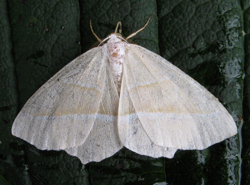 barred red moth Hylaea fasciaria 230908 1052 RLLord smg