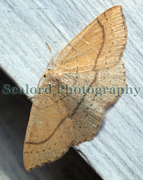 Clay Triple-lines Cyclophora linearia ©RLLord 240609