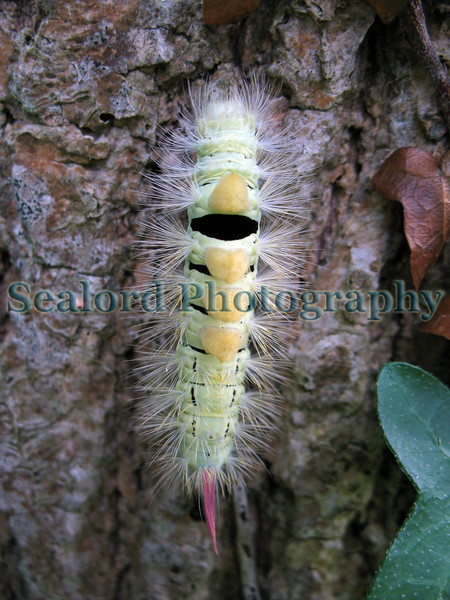 Pale tussock moth caterpillar, Caliteara pudibunda, crawling up tree trunk by St Saviour Reservoir in Guernsey