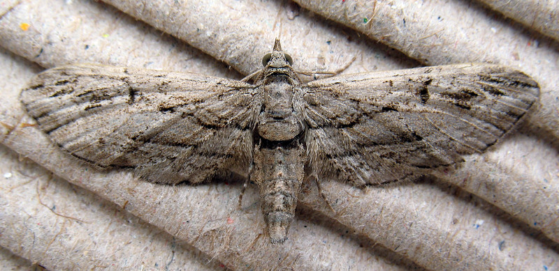 "This Cypress pug, Eupithecia phoeniceata, was identified by Guernsey moth expert Richmond Austin. It was attracted to a moth trap set in my garden in St. Peter Port, Guernsey on the night of 10 September 2008.  According to the UK moth website   <a href=""http://ukmoths.org.uk/"">http://ukmoths.org.uk/</a> this moth was first recorded in the UK in 1959.<br /> File No. 100908 9921<br /> RLLord<br /> fishinfo@guernsey.net"
