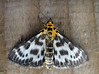 Small magpie moth, Eurrhypara hortulata, in St Peter Port garden on 13 July 2008