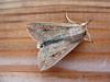 White speck moth, Mythimna unipuncta, in Guernsey moth trap