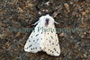 white ermine moth, Spilosoma lubricipeda