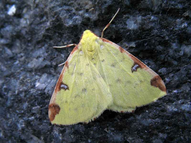 brimstone moth Opisthograptis luteolata 150908 498 RLLord smg