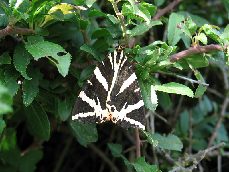 Jersey tiger moth, Euplagia quadripunctaria, at Le Gouffre on Guernsey's south coast