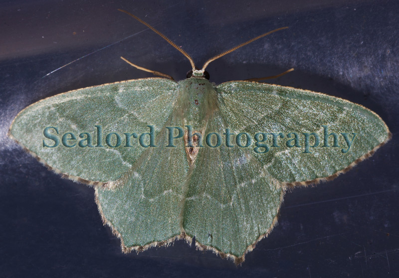 common emerald Geometra papilionaria 280609