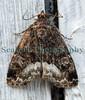 moth 050709 6566 smg