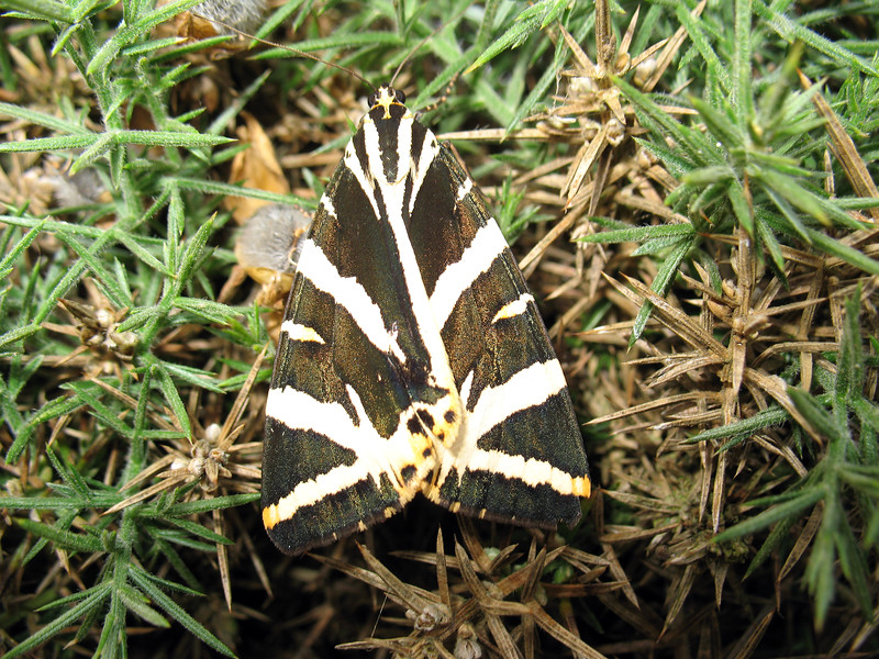 Jersey tiger moth, Euplagia quadripunctaria, at Le Gouffre, South coast of Guernsey