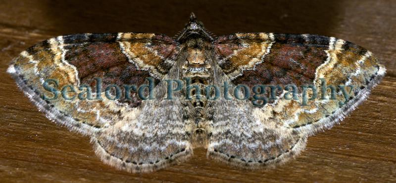 twin spot carpet Xanthoroe ©RLLord 140609 5098 smg