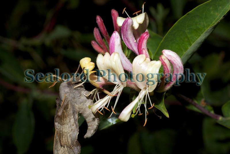 poplar hawkmoth, Laothoe populi, on honeysuckle