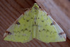 A home made moth trap lent to me by Guernsey moth expert Richmond Austin attracted this brimstone moth, Opisthograptis luteolata, on the night of 8 September 2008.<br /> <br /> File No. 080908<br /> sealord@me.com