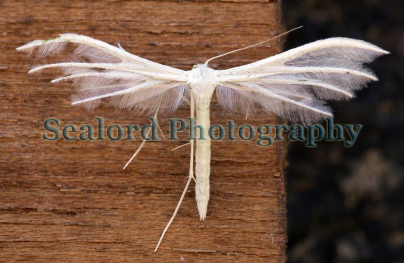 plume moth ©RLLord 050709 6660 smg