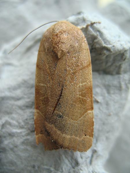 broad-bordered yellow underwing Noctua fimbriata leanto 080908 9657 smg
