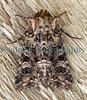 moth ©RLLord<br /> <br /> File No. 050709 6648<br /> ©RLLord<br /> sealord@me.com