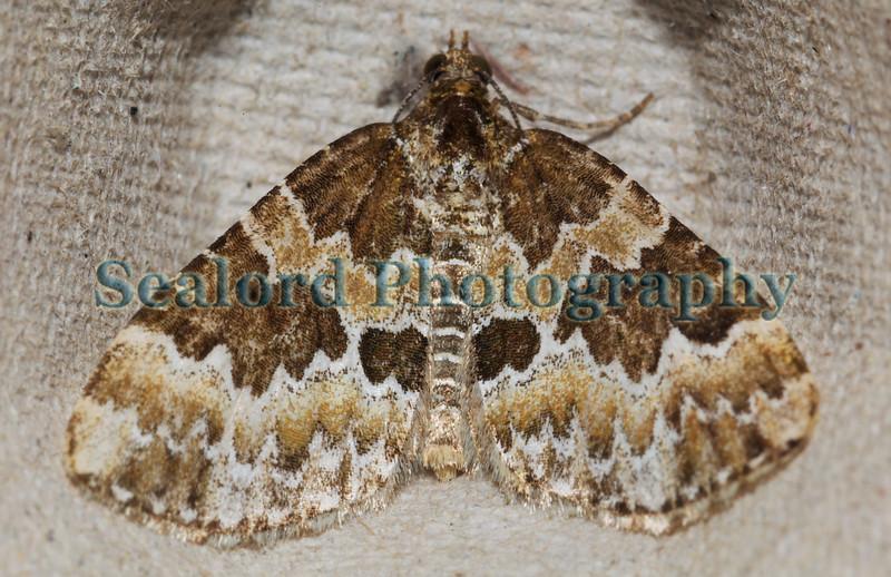 broken-barred carpet Electrophaes corylata ©RLLord 140609 5104 smg