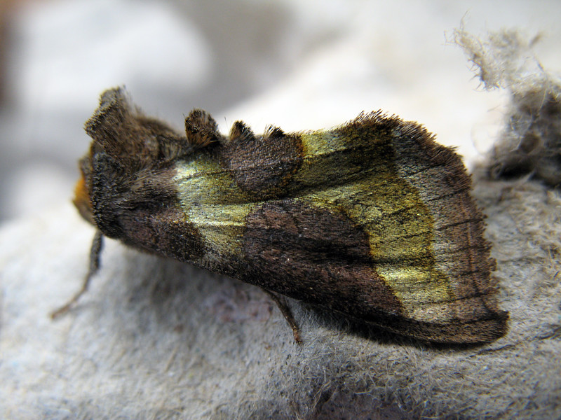 A burnished brass moth, Diachrysia chrysitis, attracted to a moth trap set at Dell Nursery in St Peter Port on 7 September 2008.<br /> <br /> File No. 070908 9273 <br /> ©RLLord All Rights Reserved<br /> <br /> fishinfo@guernsey.net