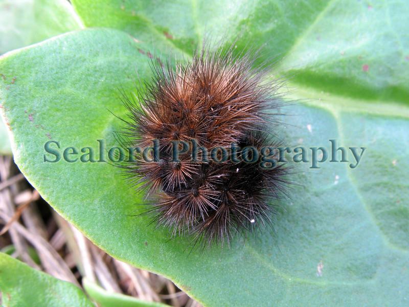 Guernsey caterpillar St Saviour 081008 ©RLLord 1990 smg