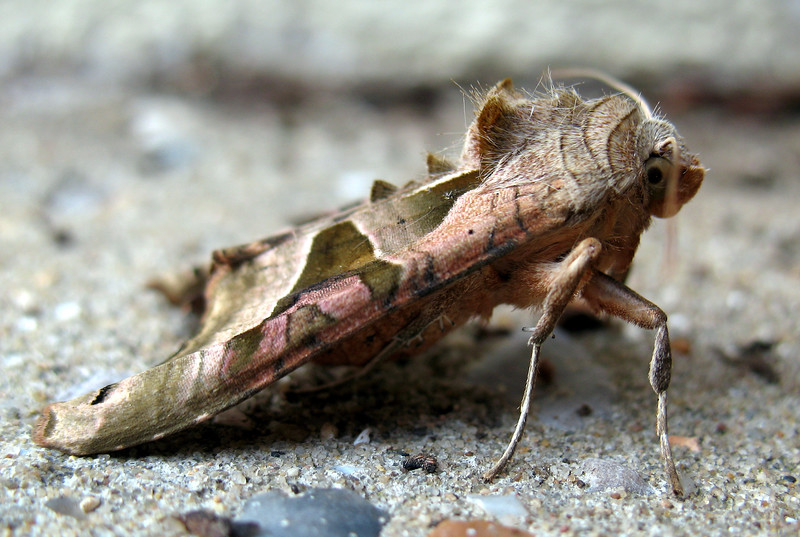 """This angle shades moth, Phlogophora meticulosa, was found in leaf litter on the front step of my home in St. Peter Port, Guernsey on the 14 April 2008.  This moth was identified by Dr. Charles David of the Guernsey Biological Records Centre.    <a href=""""http://www.biologicalrecordscentre.gov.gg/"""">http://www.biologicalrecordscentre.gov.gg/</a><br /> File No. 140408 4230 <br /> ©RLLord<br /> All Rights Reserved"""