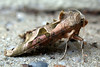 "This angle shades moth, Phlogophora meticulosa, was found in leaf litter on the front step of my home in St. Peter Port, Guernsey on the 14 April 2008.  This moth was identified by Dr. Charles David of the Guernsey Biological Records Centre.    <a href=""http://www.biologicalrecordscentre.gov.gg/"">http://www.biologicalrecordscentre.gov.gg/</a><br /> File No. 140408 4230 <br /> ©RLLord<br /> All Rights Reserved"