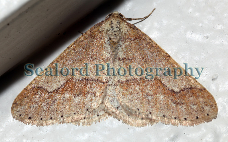 dotted border moth, Agriopis marginaria
