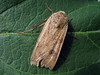 yellow underwing moth