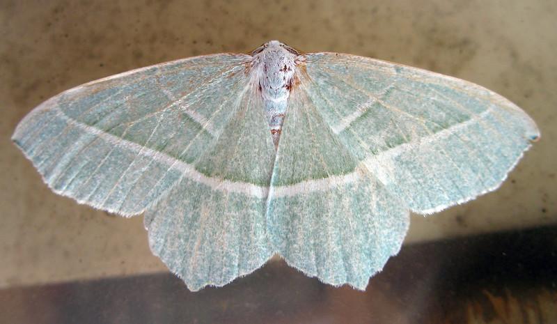 Light Emerald moth, Campaea margaritata, from a garden moth trap on 8 September 2008